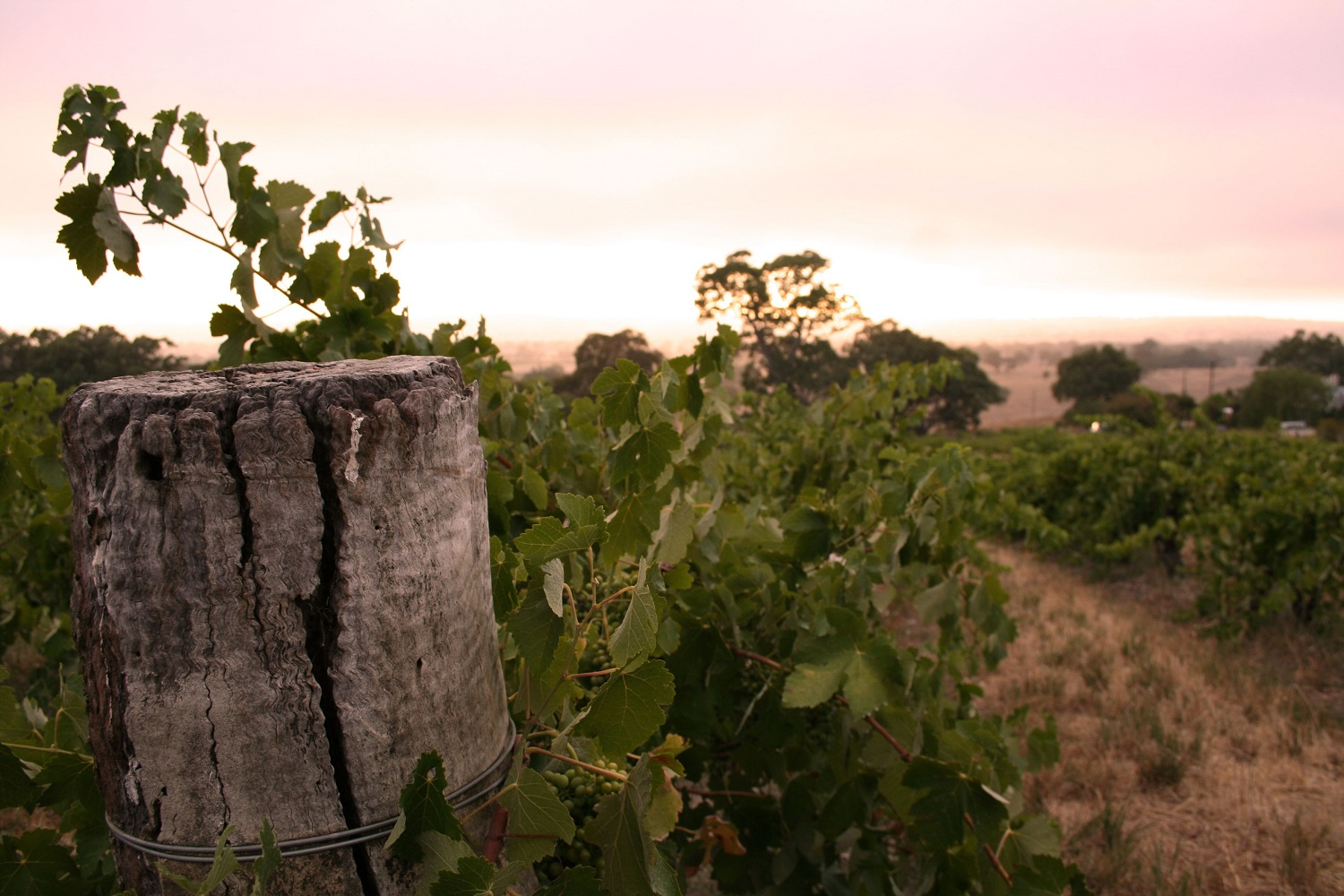 Shiraz vines in the Barossa